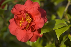 Camellia10-Burnside310px